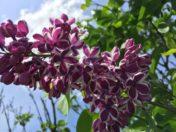 Lilac Festival, Rochester